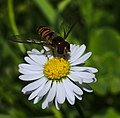 Episyrphus balteatus on Bellis perennis.jpg