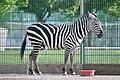 Equus quagga – Knies Kinderzoo 2011-04-24 17-07-48.jpg