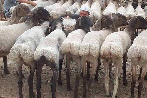 Fat-tailed sheep at a livestock market in Kashgar, China Erector fat tail sheep.jpg