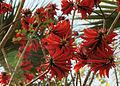 Erythrina corallodendron 2146.jpg