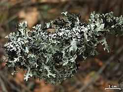 Esslingeriana idahoensis - Flickr - pellaea.jpg