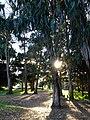 Eucalyptus Trees, Sutro Park, San Francisco (8395743835).jpg
