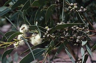 <i>Eucalyptus bancroftii</i> Species of eucalyptus