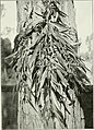 """Eucalyptus botryoides in """"Eucalypts cultivated in the United States"""" (1902) (14780806454).jpg"""
