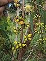Eucalyptus camaldulensis 08.JPG