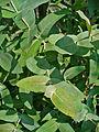 Eucalyptus globulus 002.JPG