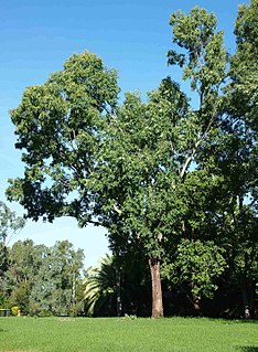 <i>Eucalyptus raveretiana</i> Species of eucalyptus