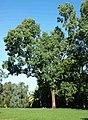 Eucalyptus raveretiana.jpg