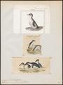 Eudyptes minor - 1700-1880 - Print - Iconographia Zoologica - Special Collections University of Amsterdam - UBA01 IZ17800253.tif