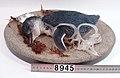 Eudyptula minor (AM LB8945-7).jpg