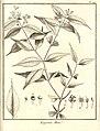 Eugenia mini Aublet 1775 pl 197.jpg