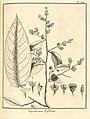 Eupatorium triflorum Aublet 1775 pl 314.jpg
