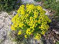 Euphorbia cyparissias sl9.jpg