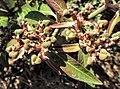 Euphorbia heterophylla fruits.jpg