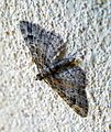 Eupithecia exiguata^ Mottled Pug - Flickr - gailhampshire.jpg