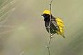 Euplectes afer -Lake Baringo, Kenya -male-8.jpg