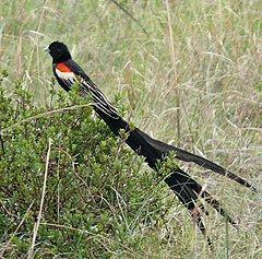 Euplectes progne male South Africa cropped.jpg