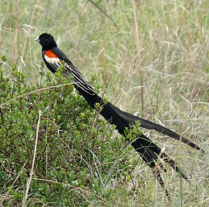 Long-tailed widowbird - Image: Euplectes progne male South Africa cropped