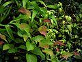 Euptelea polyandra - Flickr - peganum.jpg