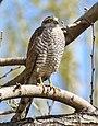 Eurasian Sparrowhawk (Accipiter nisus) (34768414642).jpg