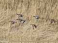 Eurasian Wigeon (Anas penelope) (39638197501).jpg