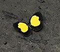 Eurema celebensis 58853252 (cropped).jpg
