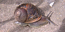 external image 220px-European_brown_snail.jpg
