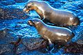 Excursion to a lagoon on the N side of Isla Santa Fe - Galapagos Sea Lions - are they friends ?? (16483539957).jpg