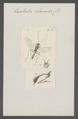 Exetastes - Print - Iconographia Zoologica - Special Collections University of Amsterdam - UBAINV0274 046 03 0075.tif