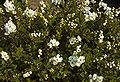 Exochorda the bride A.jpg