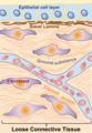 Extracellular Matrix v1.001-labeled.png