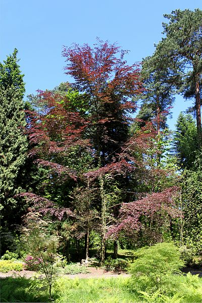 file fagus sylvatica purpurea tricolor jpg wikimedia commons. Black Bedroom Furniture Sets. Home Design Ideas