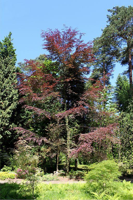 file fagus sylvatica purpurea tricolor jpg wikimedia commons. Black Bedroom Furniture Sets. Home Design Ideas