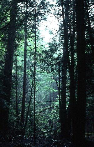 Fallsburg, New York - Characteristic pine forest at Fallsburg