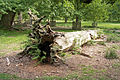 Fallen tree, Dunham Park - geograph.org.uk - 447510.jpg