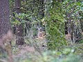 Fallow Deer in the Spandauer Forst in autumn.jpg