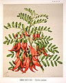 Featon, Sarah Anne, 1848-1927 -Kowhai ngutu kaka - clianthus puniceus. S. Featon. Bock and Cousins Chromo-Litho. (Wellington, 1889) (21290555211).jpg