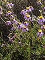 Felicia filifolia Gifberg 04.jpg