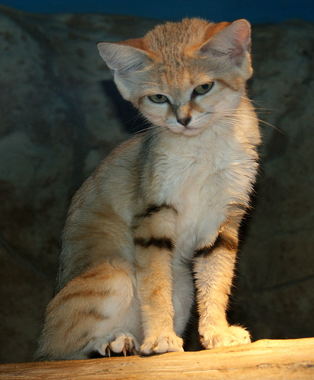 A Sand Cat