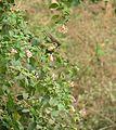 Female Sunbird Feeding on Nectar.JPG