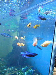 Several female bettas in a community tank with mollies and rainbowfish.