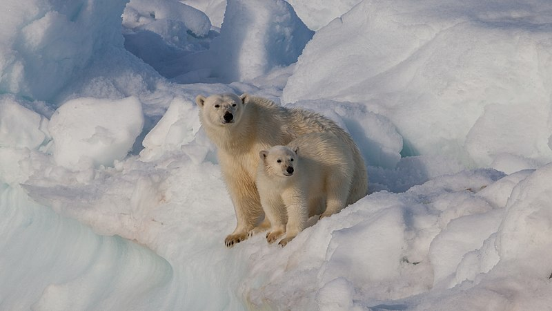 Female polar bear (Ursus maritimus) with cub, Svalbard.jpg