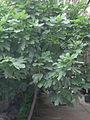FicusCarica.jpg