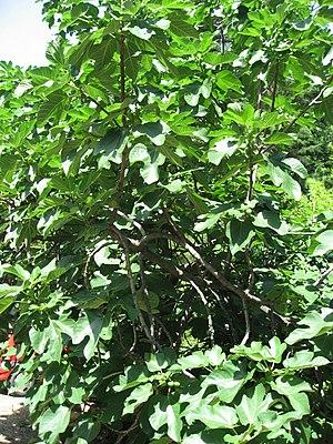 Luke 21 -  A fig tree