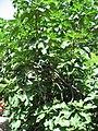 Ficus carica 01 by Line1.jpg