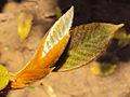 Ficus drupacea 20.JPG