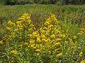 Field-of-goldenrod-flowers.jpg