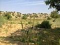 Field of Bajhra, Gwar.jpg