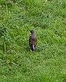 Fieldfare (Turdus pilaris) - Oslo, Norway 2020-08-03.jpg