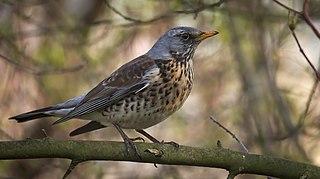 Fieldfare species of bird
